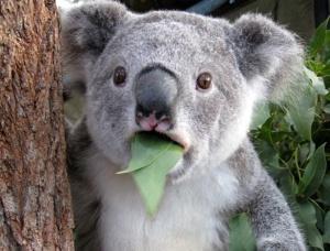 Anticipation koala