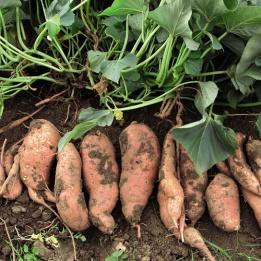Sweet_Potato_04